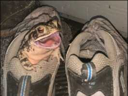 This frog has been living in old shoes for the last one year.  (Photos: Social Media)