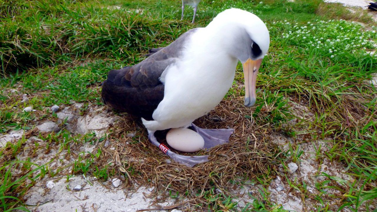 The oldest wild bird on record has just had a child