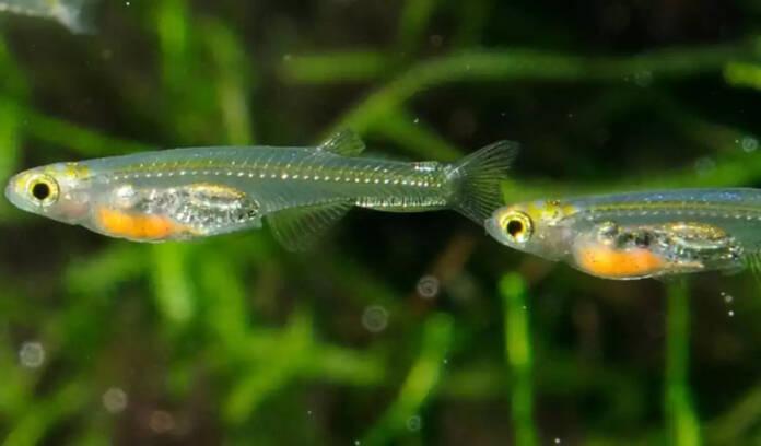 glass fish lack skull bones