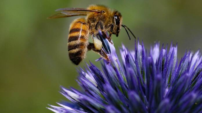 bees successfully trained to stick out tongue when smelling coronavirus