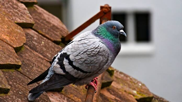 research should improve pigeon image